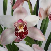 Cymbidium-12cm-Dwarf-Pink-close-up.jpg